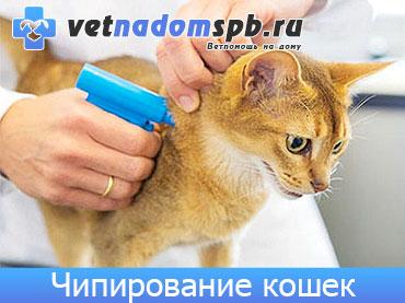 Чипирование кошек и котов на дому