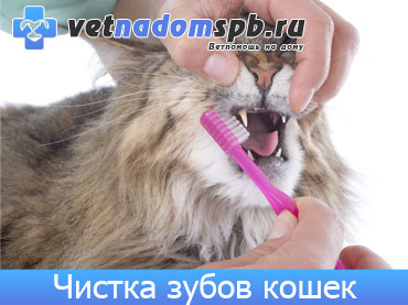 Чистка зубов кошек на дому