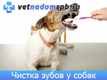 Чистка зубов собакам на дому