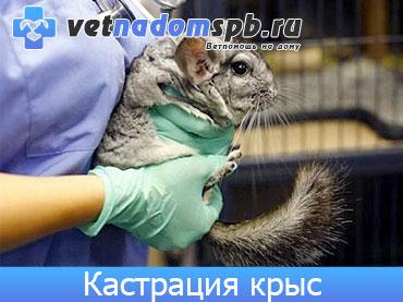 Кастрация декоративных крыс на дому