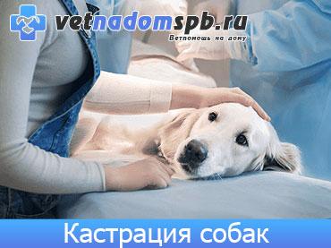 Кастрация собак на дому