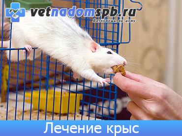 Лечение декоративных крыс на дому