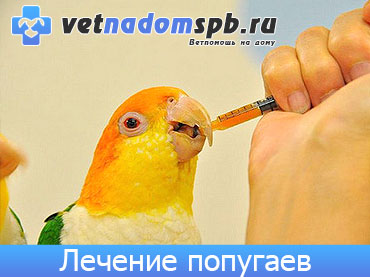 Лечение попугаев на дому