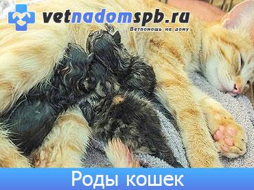 Роды кошек на дому