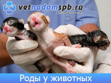 Роды животных на дому (родовспоможение)