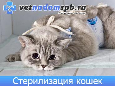 Стерилизация кошек на дому