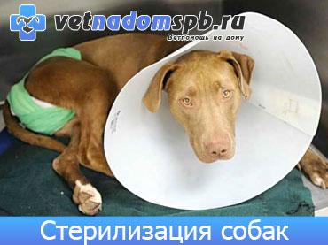 Стерилизация собак на дому